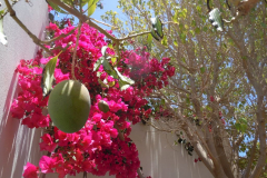 Mangobaum / Mango tree