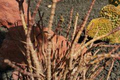 Sacocornia fruticosa