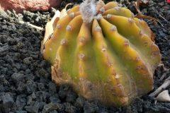 Echinopsis subdenudata (Pfeiff. & Otto)